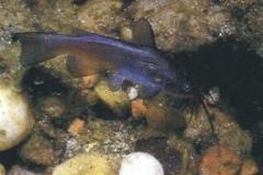 pesce_gatto