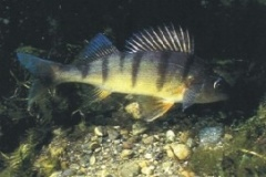 pesce_persico